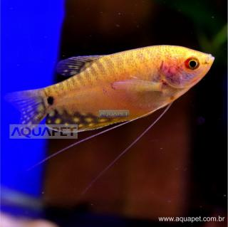 PEIXE TRICOGASTER OURO (TRICHOGASTER TRICHOPTERUS)