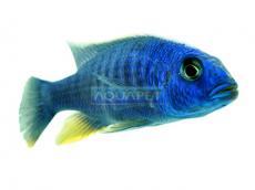 PEIXE ELECTRIC BLUE AHLI 5-6CM (SCIAENOCHROMIS FRYERI)