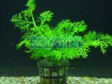 Planta s3 Samambaia Crespa