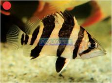 PEIXE SIAMESE TIGER FISH 4-5 CM (DATNIOIDES MICROLEPIS)