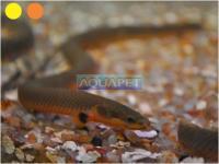 PEIXE ROPE FISH 24-26CM (ERPETOICHTHYS CALABARICUS)