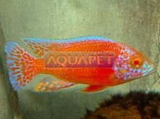 PEIXE AULONOCARA SP ALBINA SUPER RED MACHO 5-6CM