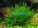 Planta E20 Eleocharis sp (japan)