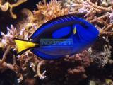 PEIXE MARINHO TANG BLUE 5-6CM (PARACANTHURUS HEPATUS)