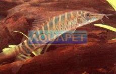 PEIXE BOTIA TIGRE 4-5 CM (SYNCROSSUS BERDMOREI)