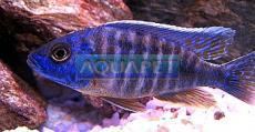 PEIXE AULONOCARA N. BLUE 4-5 CM (AULONOCARA NYASSAE BLUE)