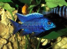 PEIXE AULONOCARA BLUE 4-5 CM ( NYASSAE BLUE)