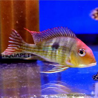 PEIXE GEOPHAGUS RED HEAD