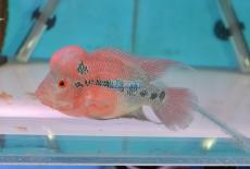 PEIXE FLOWER HORN RED DRAGON AAA 10-12CM (FOTO REAL)