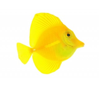 Pxm Tang Yellow md (zebrasoma Flavescens)