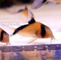 Peixe Coridora Meline 5 Unidades (corydoras Melini)