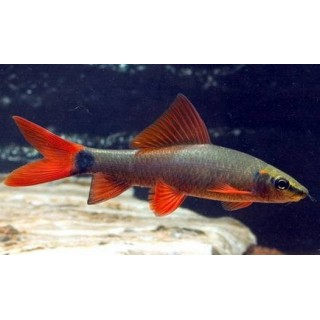 PEIXE LABEO FRENATUS PM 3-4CM (EPALZEORHYNCHUS FRENATUS)
