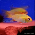 Peixe Ramirezi Ouro 5 Uni (mikrogeophagus ramirezi)