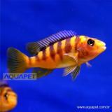 Peixe Crabro 5CM (Pseudotropheus crabro)