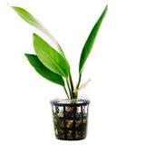 Planta a7 Anubia Lanceolata