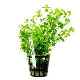 Planta b2 Bacopa Australis