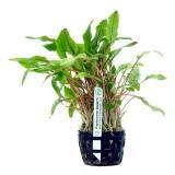 Planta c2 Cryptocoryne Beckettii