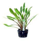 Planta c4 Cryptocoryne Willisii