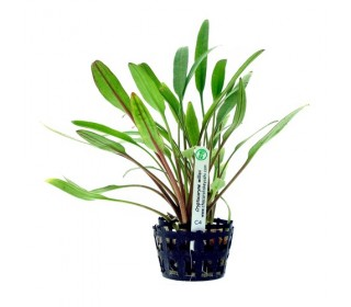 Planta Natural Aquario Cryptocoryne Willisii C4