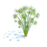 Planta c5 Cyperus Papyrus Nanus - Aquapet