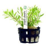 Planta d1 Didiplis Diandra