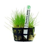 Planta E12 Eleocharis Minima