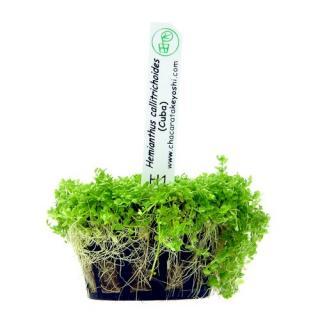 Planta h1 Hemianthus Callitrichoides