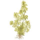 Planta l2 Limnophila Sessiliflora (pinheirinho)