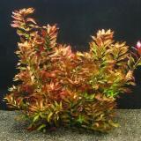 Planta L13 Ludwigia Repens (rubin)