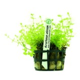 Planta m4 Micranthemum Umbrosum