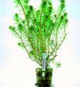 Planta m8 Myriophyllum Matogrossense