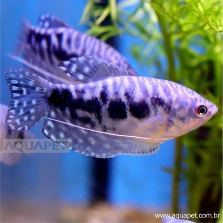 Px Tricogaster Azul (trichogaster Trichopterus)