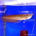 Peixe Aruanã Prata Médio (osteoglossum Bicirrhosum)