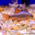 Peixe Barbos Oligoleps 5 Unidades (Puntius oligolepis)
