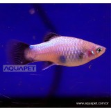 PEIXE PLATY AZUL (XIPHOPHORUS MACULATUS)