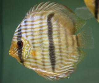 Peixe Acara Disco Heckel M (symphysodon Discus)