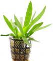 Planta E19 Echinodorus Uruguayensis