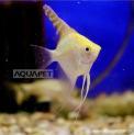 Px Acara Bandeira Ouro Pequeno (pterophyllum Scalare)