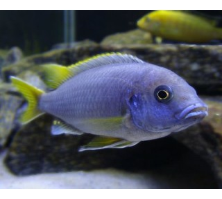 Px Gephirocromis Moori (gephirocromis Moori)
