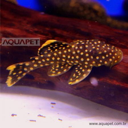 Px Cascudo Pepita de Ouro L018 (baryancistrus Xanthellus)