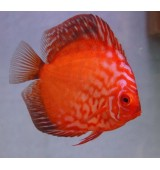 PEIXE ACARA DISCO SUPER RED RUBI