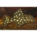 Peixe Cascudo Bola de Neve LDA33 (Baryancistrus SP)