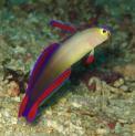 Pxm Purple Firefish (nemateleotris Decora)