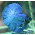 PEIXE BETTA MACHO (BETTA SPLENDENS)