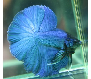 Px Betta Macho (betta Splendens)