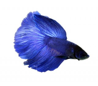 PEIXE BETTA MACHO DELTA AZUL 4,50-5CM (BETTA SPLENDENS)
