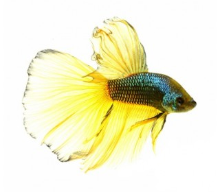 PEIXE BETTA MACHO PLATINA 4,50-5CM (BETTA SPLENDENS)