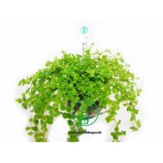 Planta Natural Aquario Callitriche Sp C7