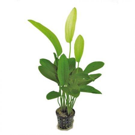 Planta E21 Echinodorus Tricolor
