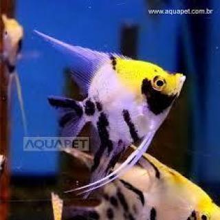 Px Acara Bandeira Palhaço pq (pterophyllum Scalare)